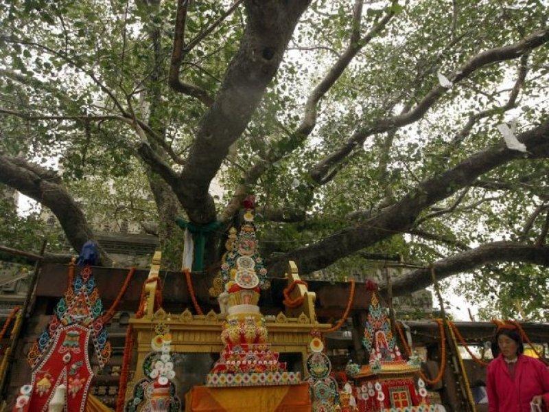 Bodhi Tree-Bodhgaya